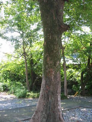 070813木にいっぱいセミ
