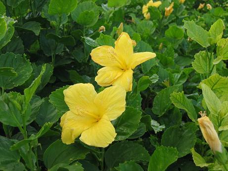 070924ハワイ州の花