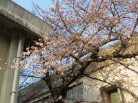 2012.4.2 新居浜東高校の桜3