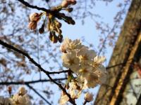 2012.4.2 新居浜東高校の桜2