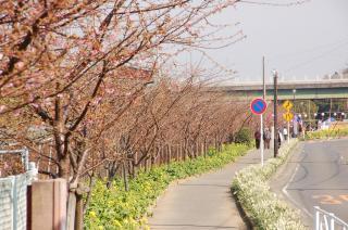 河津桜 小松ヶ池 歩道 菜の花 水仙 20070206