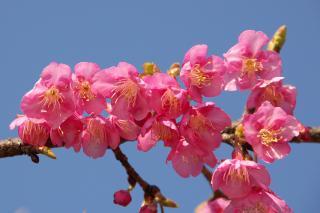 寒緋桜 小松ヶ池 20070206