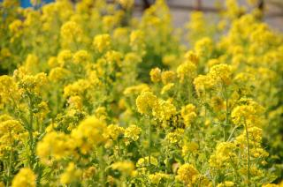 菜の花 小松ヶ池 20070206
