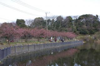 小松ヶ池 河津桜 070213