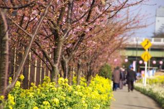 小松ヶ池 河津桜 菜の花 070213