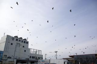 長井港 トンビ 20070225
