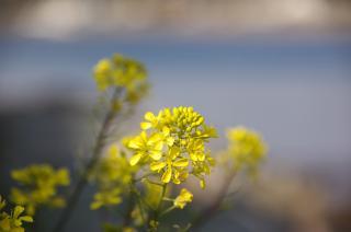 三戸漁港 菜の花 20070227
