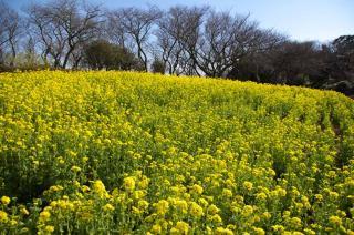 20070308 大楠平 菜の花