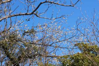 20070320 横須賀市公園墓地 桜