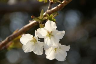 20070321 ソレイユ 桜