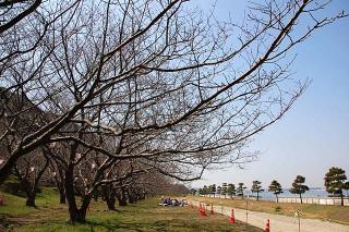 20070323 走水 桜