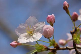 20070328 走水 桜