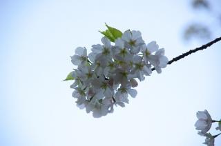 20070328 たたら浜 桜