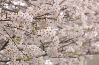 20070331 三崎口駅 桜