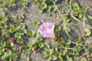 20070406 葉山 ハマヒルガオ