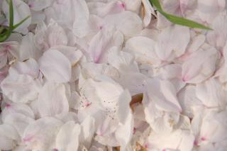 20070408 桜