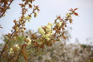 20070410 しょうぶ園 ウコン桜