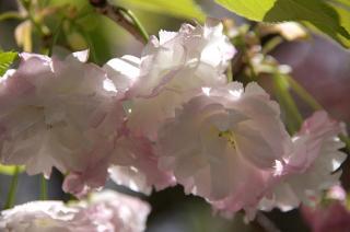 20070419 大船植物園 八重桜