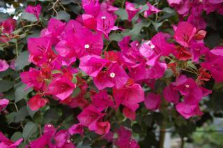 20070419 大船植物園 ブーゲンビリア