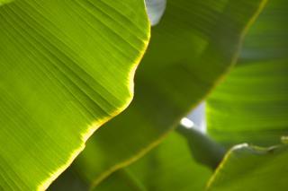 20070419 大船植物園 バナナ