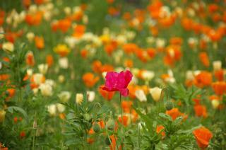 20070424 花の国 カリフォルニアポピー