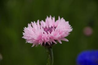 20070424 花の国 ヤグルマギク
