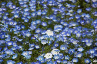 20070424 花の国 ネモフィラ