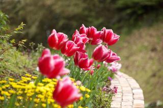 20070424 花の国 チューリップ