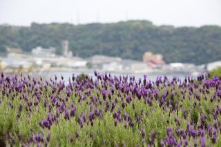 20070424 花の国ハーブ園 ラベンダー