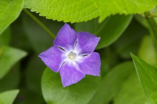 20070424 花の国ハーブ園 ツルギキョウ