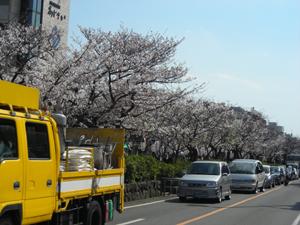 鎌倉桜並木