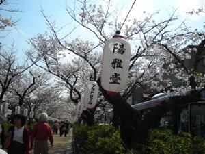 鎌倉桜並木2