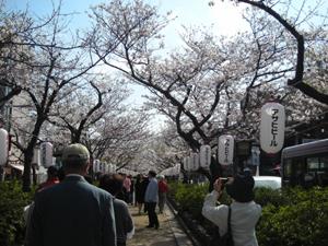 鎌倉桜並木3