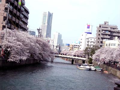 大岡川桜まつり1