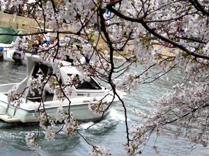 大岡川桜まつり6