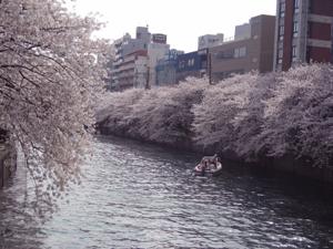 大岡川桜まつり8