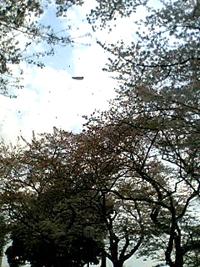 幸ヶ谷公園の桜2