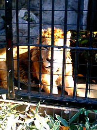 野毛山動物園ライオン「モドリ」