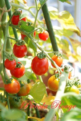 tomato14-10.jpg