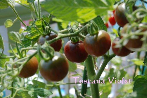 tomato14-16.jpg