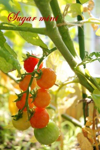 tomato14-5.jpg