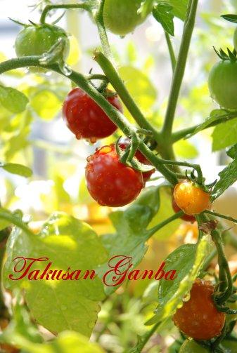 tomato14-6.jpg