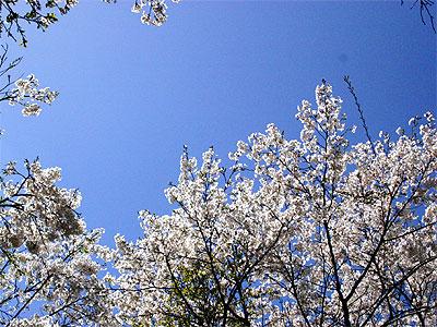 御殿山の桜