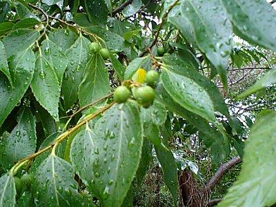 梅雨に濡れる葉
