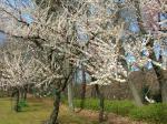 キレイに白梅が咲いてました