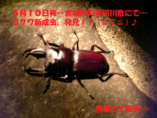 コクワ新成虫♪