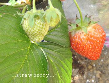 20070215strawberry.jpg