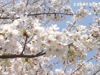 20070406sakura1.jpg