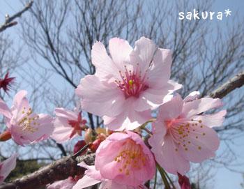 20070406sakura2.jpg