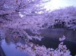 目黒の桜2